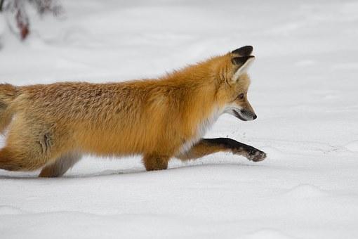 red-fox-1119118__340